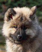der kleine Wolf