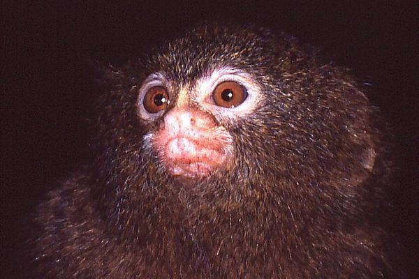 Der kleinste Affe der Welt....