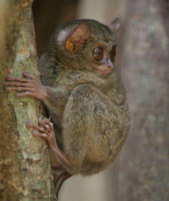 Der kleinste Primate der Welt ?! - Teil 1
