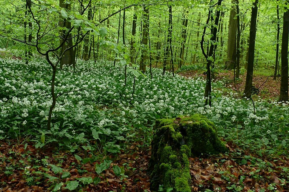 Der Knoblauchwald