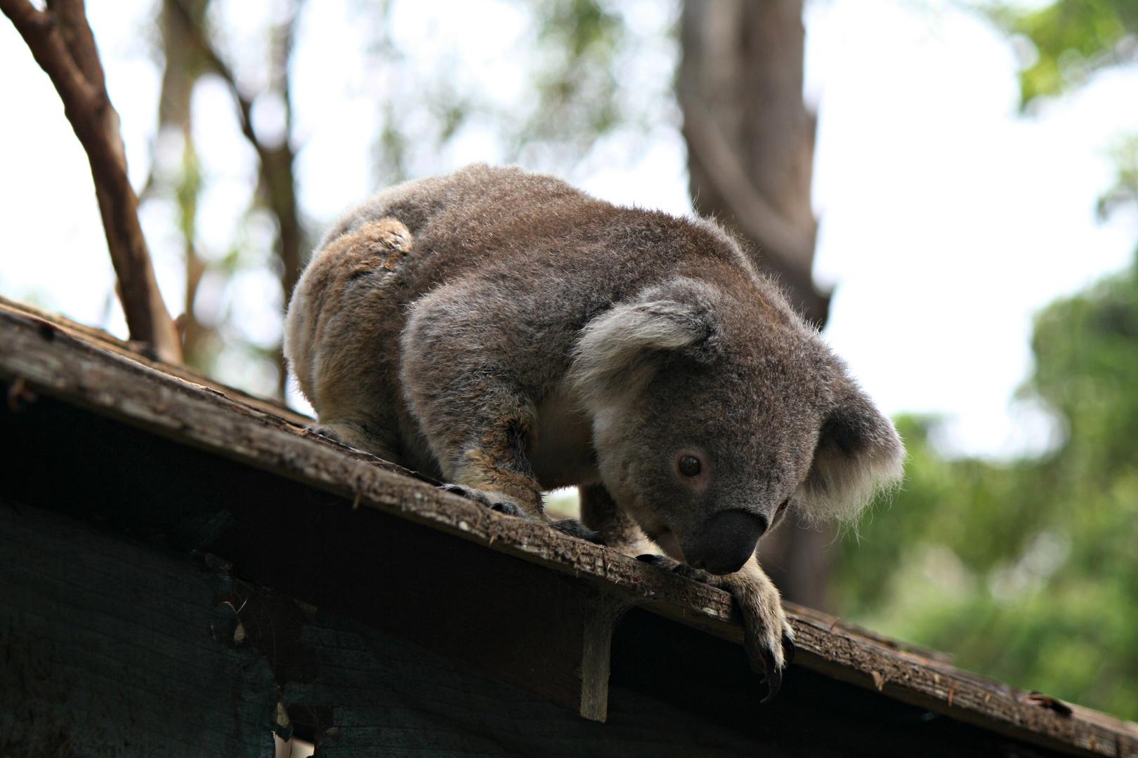 Der Koala auf dem Dach