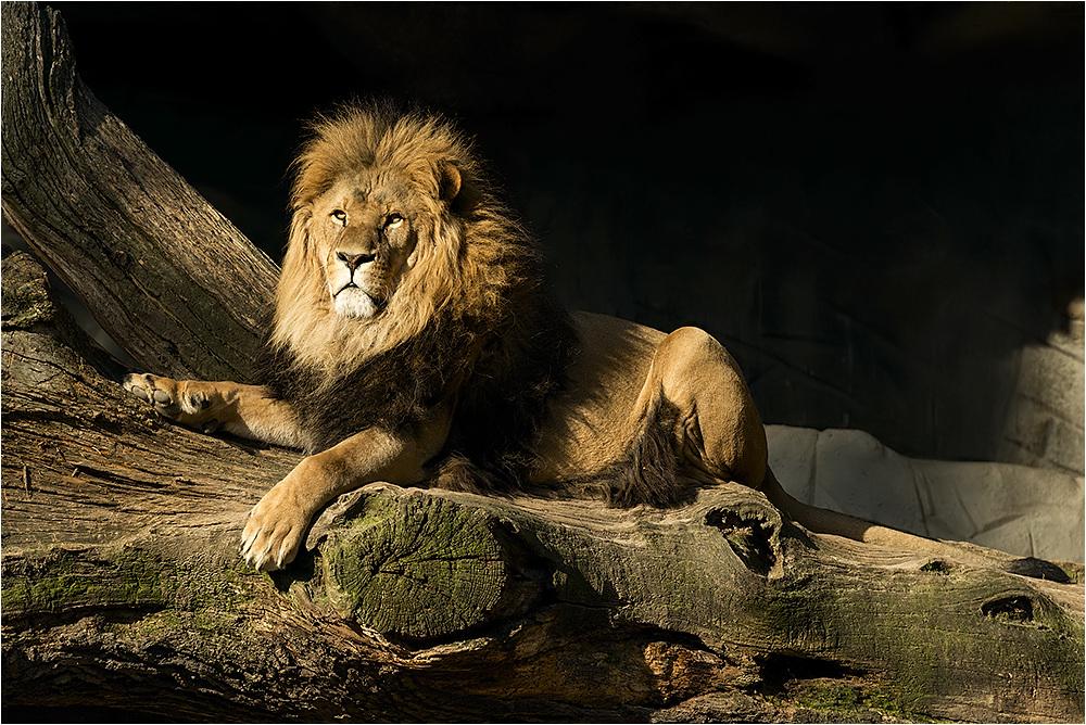 Der König der Löwen....