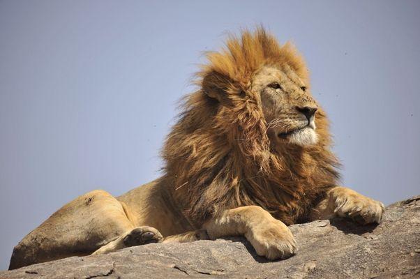 Der König der Tiere!
