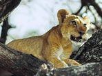 Der König der Tiere - 2