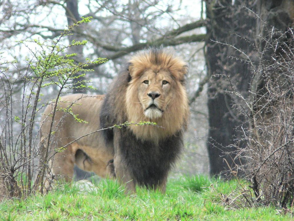 Der König der Tiere!!!
