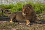 Der König der Tiere stellte sich dem Fotoshooting