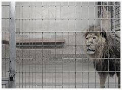 Der König der Tiere zu Gast bei der Krönung der Schöpfung