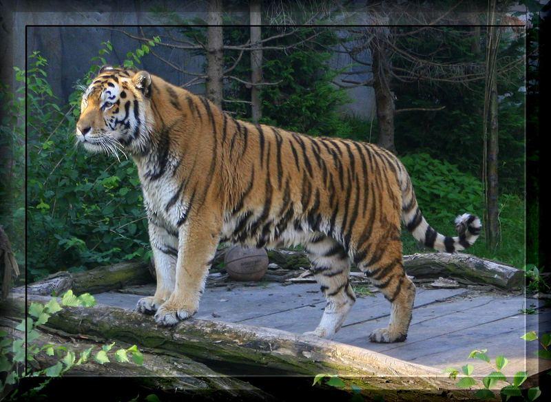 Der König des Dschungels