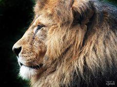 Der König im Profil !