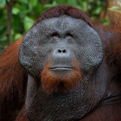 Der König von Borneo