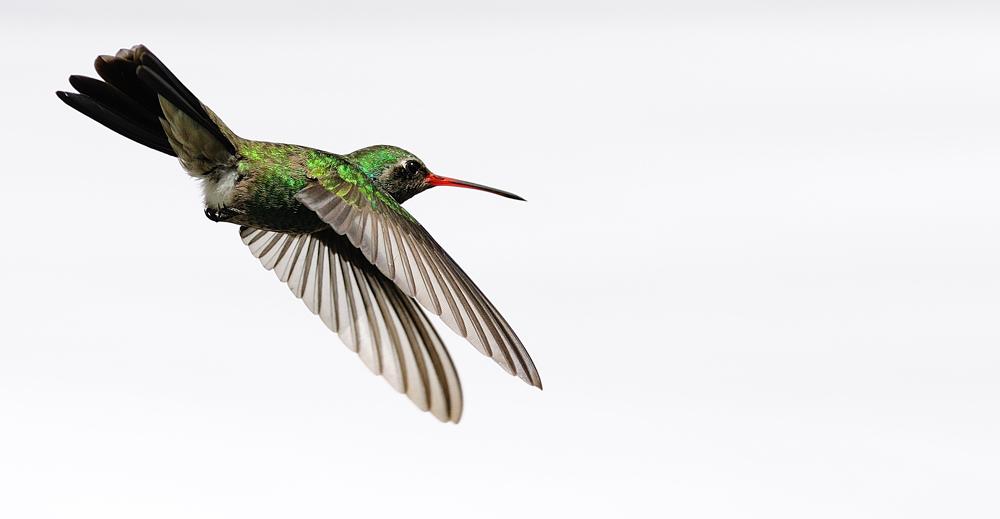 """ Der Kolibri 12 "" MX 2011"