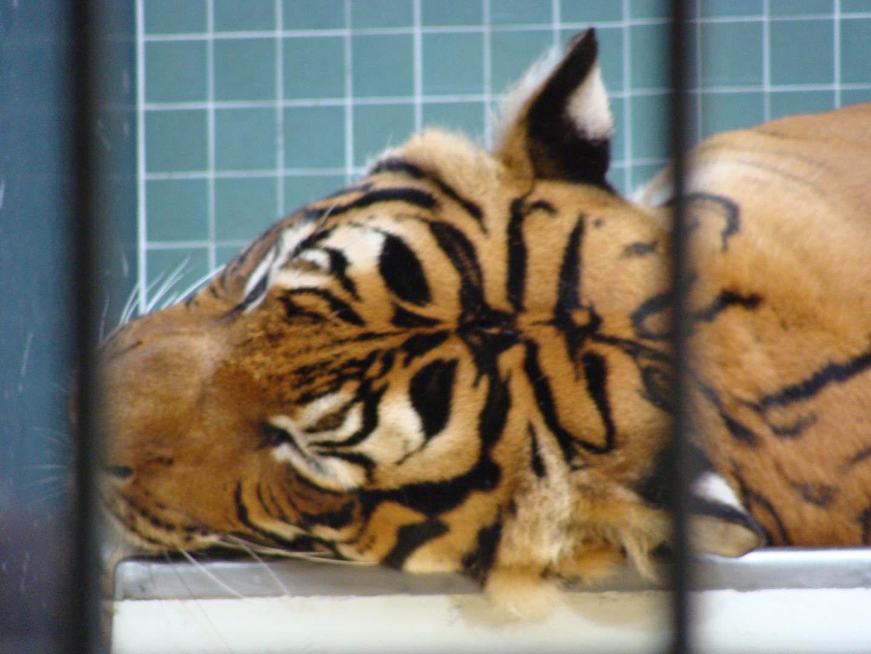 der Kopf eines Tigers