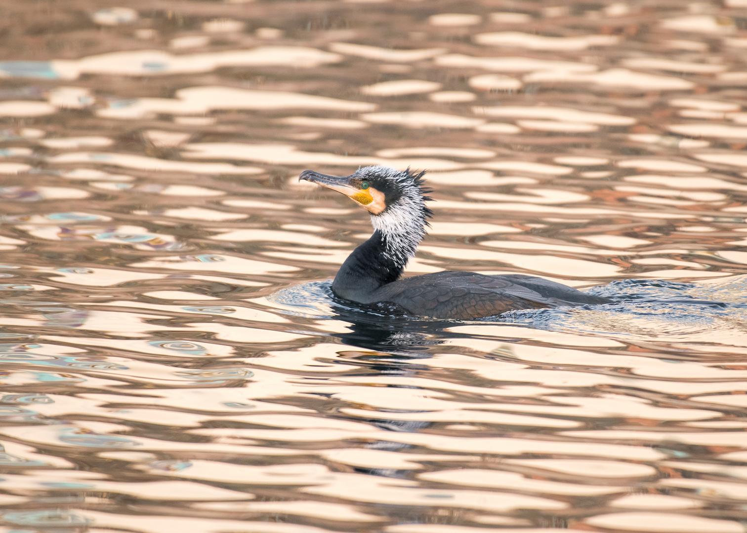 Der Kormoran (Phalacrocorax carbo)