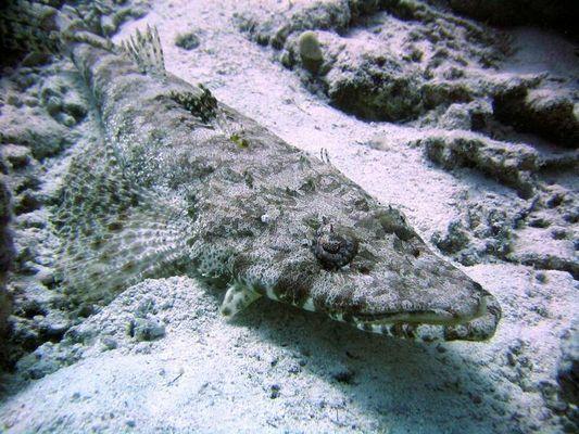 Der Krokodilfisch
