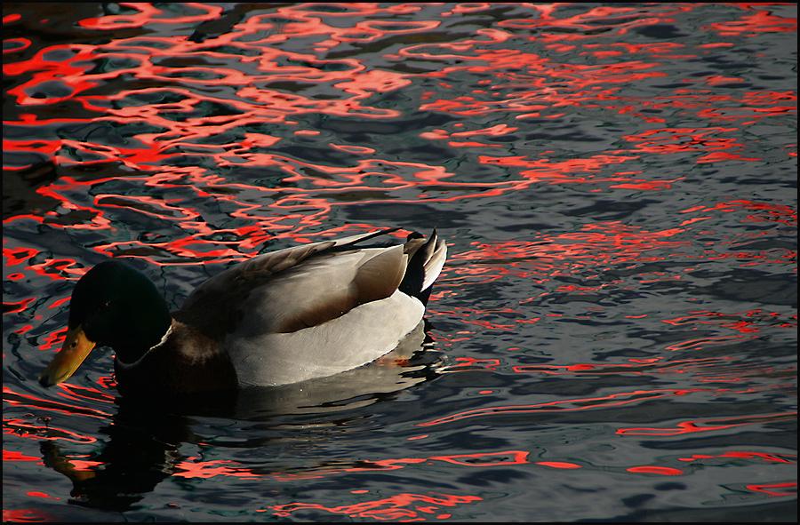 Der Küchenchef empfiehlt: Ente in Feuerwasser ;-)))
