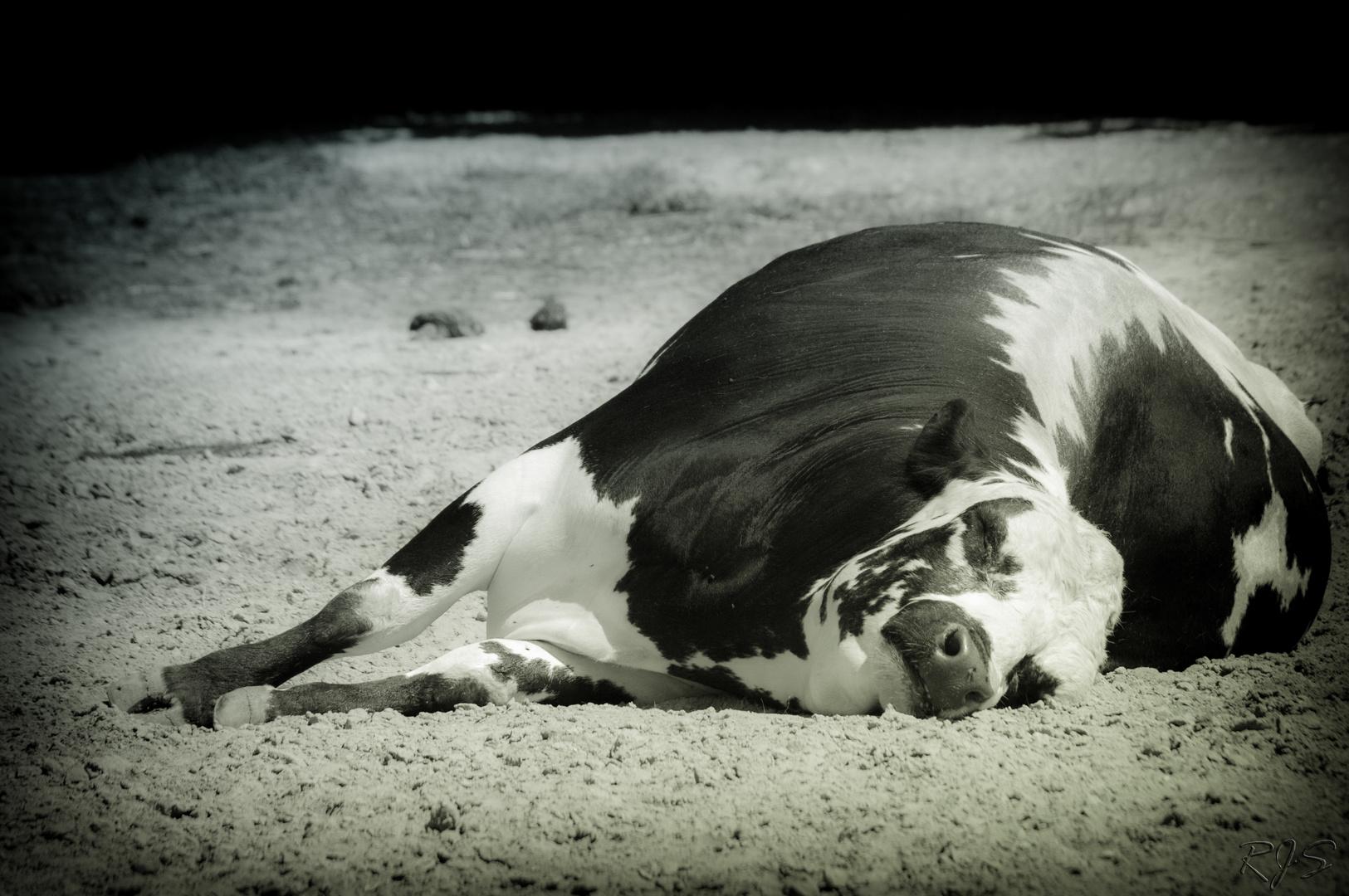Der Kühe Mühe - Reihe des Müden III