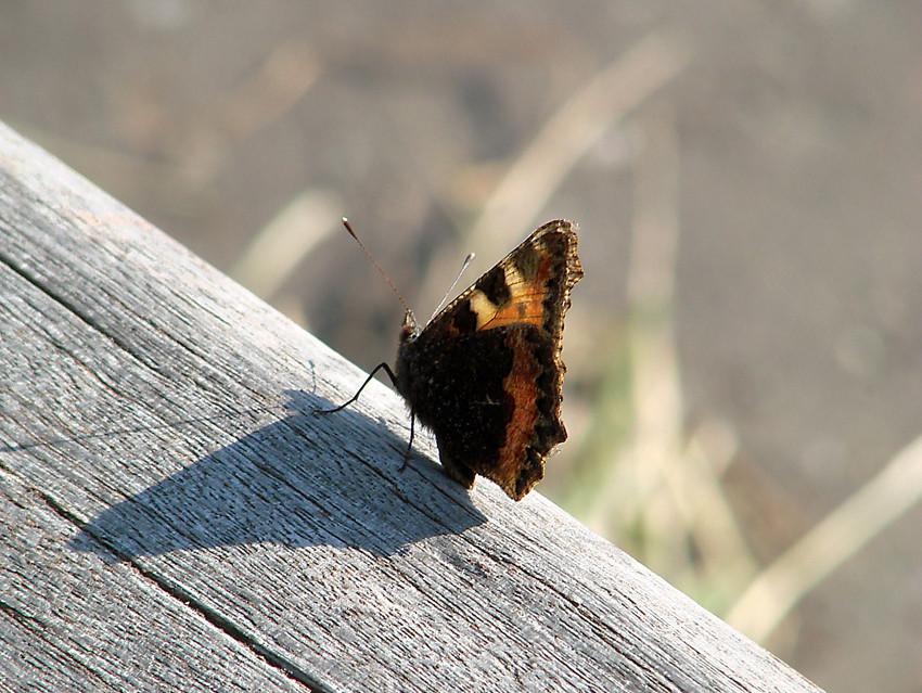 Der lange Schmetterlingsschatten
