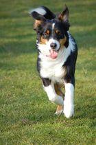 Der laufende Hund