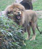 Der Leipziger Löwe brüllt !