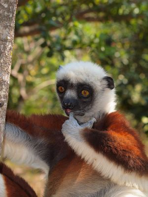 Der Lemur