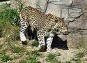der Leopard beachtet mich kaum.. von Juan