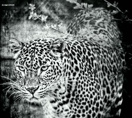 Der Leopard in schwarz Weis / Le léopard en noir et blanc