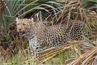 Der Leopard kommt aus der Deckung....