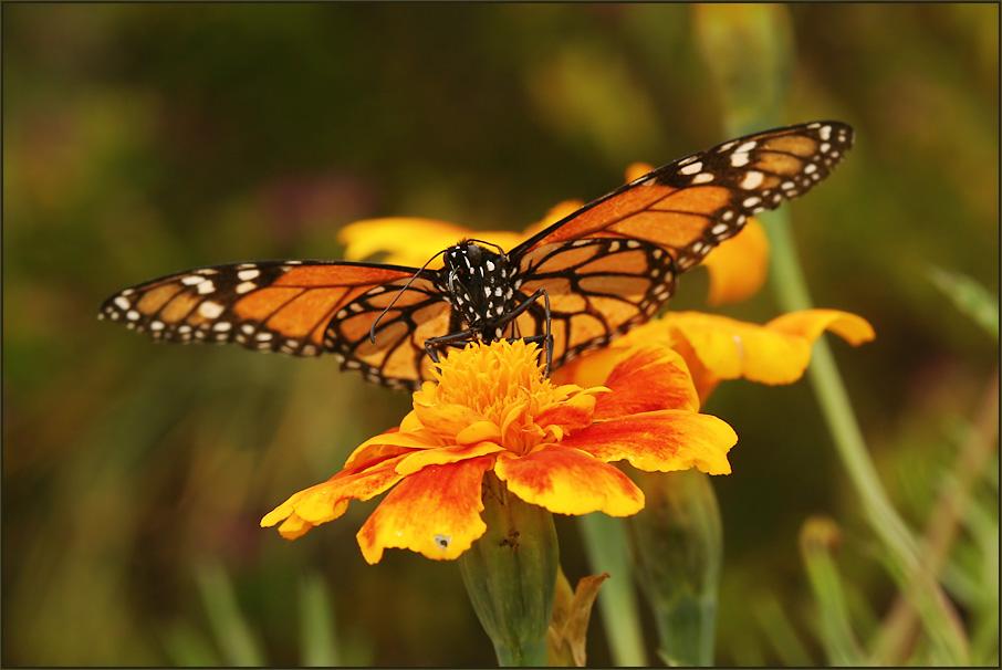 Der letzte Monarch