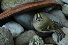 Der letzte Schrei in der Vogelwelt: Der Irokesenschnitt