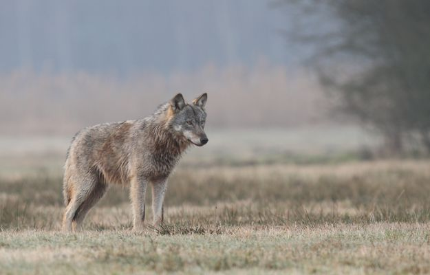 Der letzte Wolf
