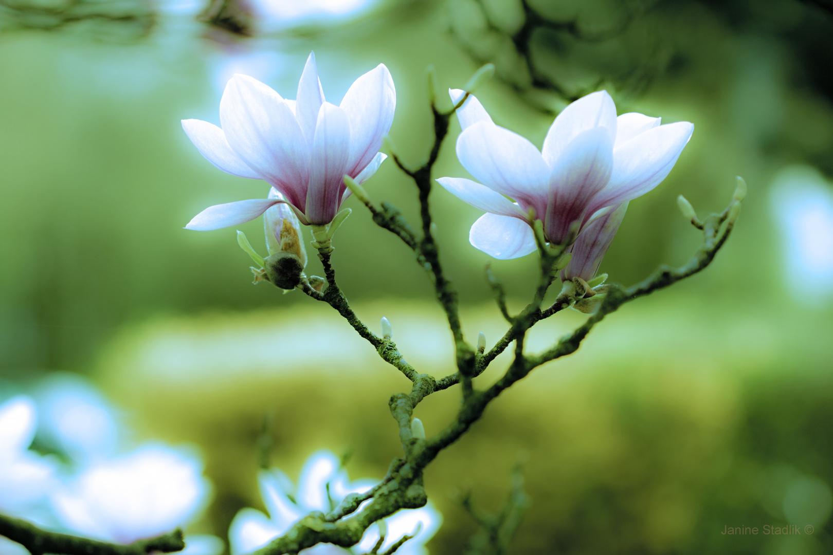 Der leuchtende Frühling ....