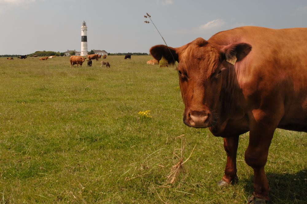 der leuchtturm von kampen aus der sicht einer kuh