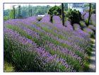 der lila Hügel