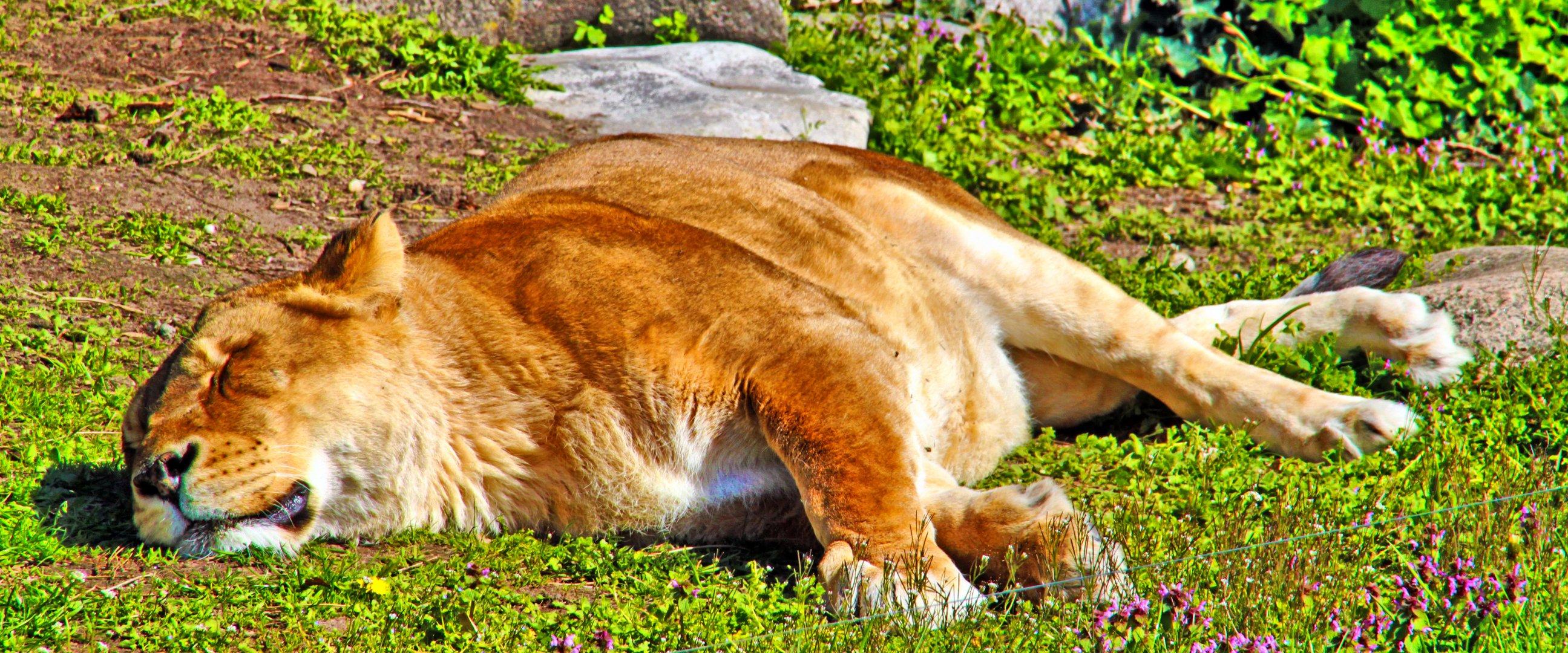 Der Löwe im Sommer