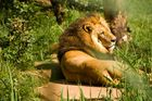Der Löwe ist los...