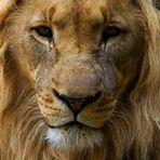 Der Löwe kommt!