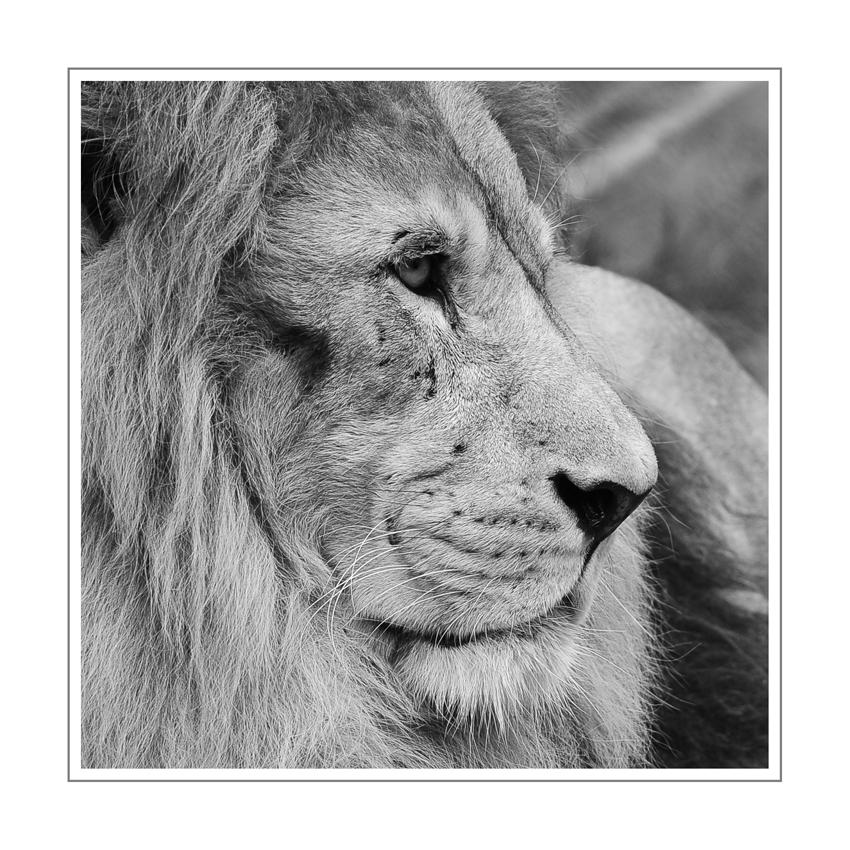 Der Löwe schläft heute nicht..............
