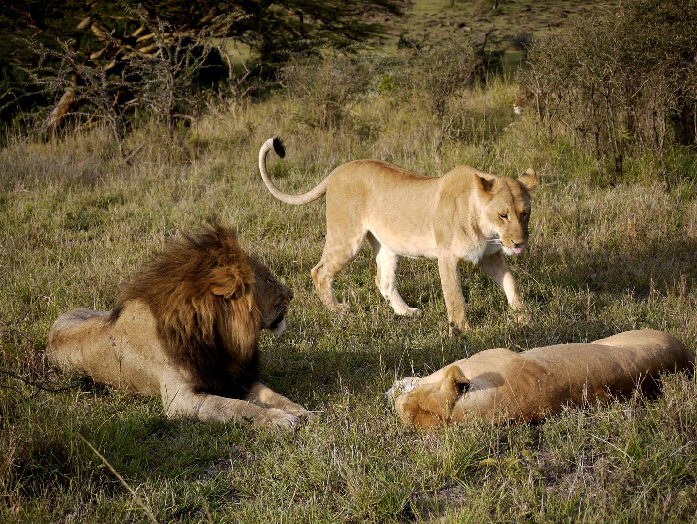 Der Löwenmann