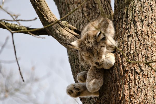 Der Luchs im Baum