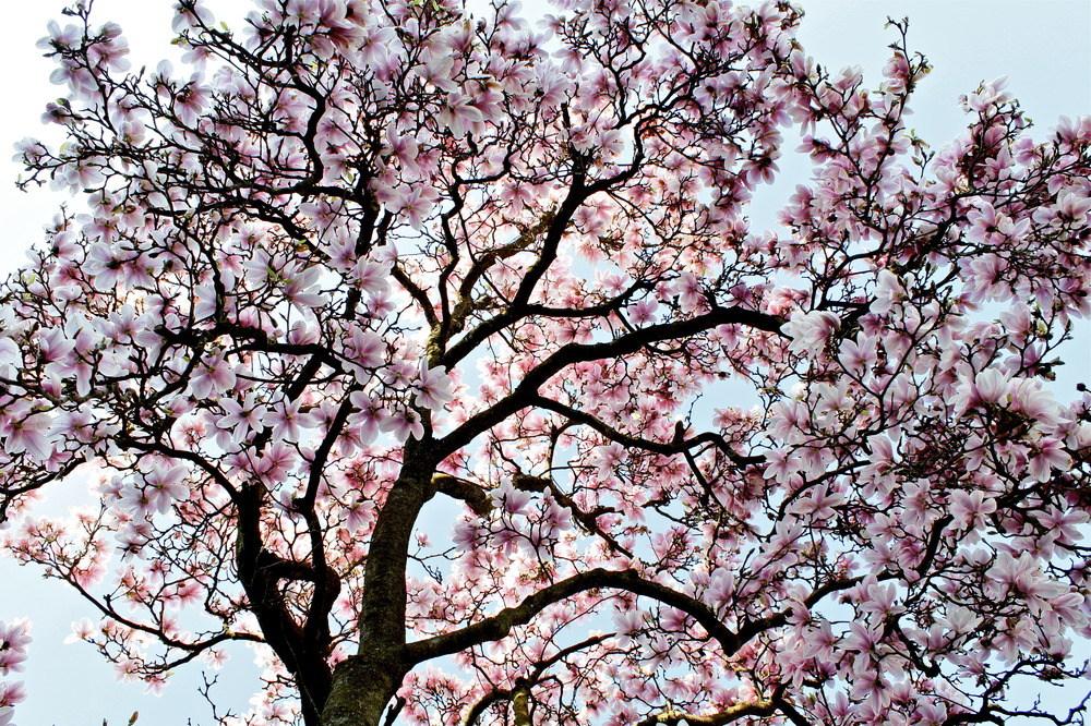 der magnolienbaum foto bild jahreszeiten fr hling. Black Bedroom Furniture Sets. Home Design Ideas