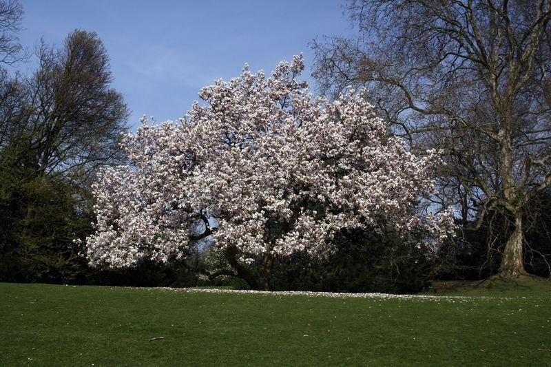 Der Magnolienbaum im Frühling