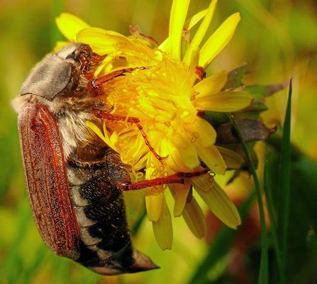 Der Mai-Käfer
