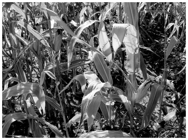 Der Mais ist gekommen, dadidadadida