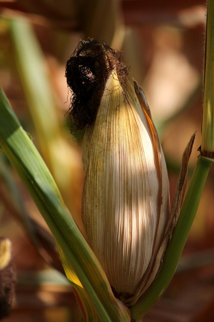 Der Mais ist reif