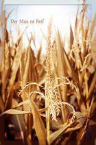 Der Mais ist Reif...