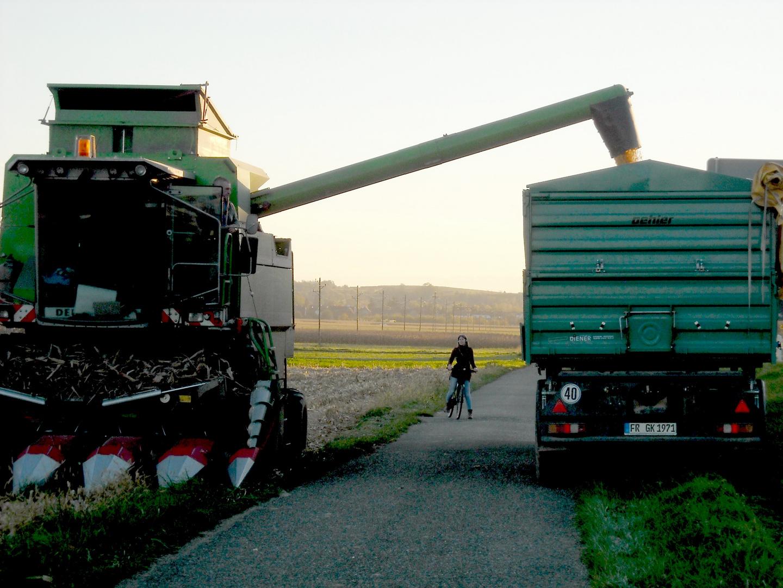 Der Mais schwindet von den Feldern