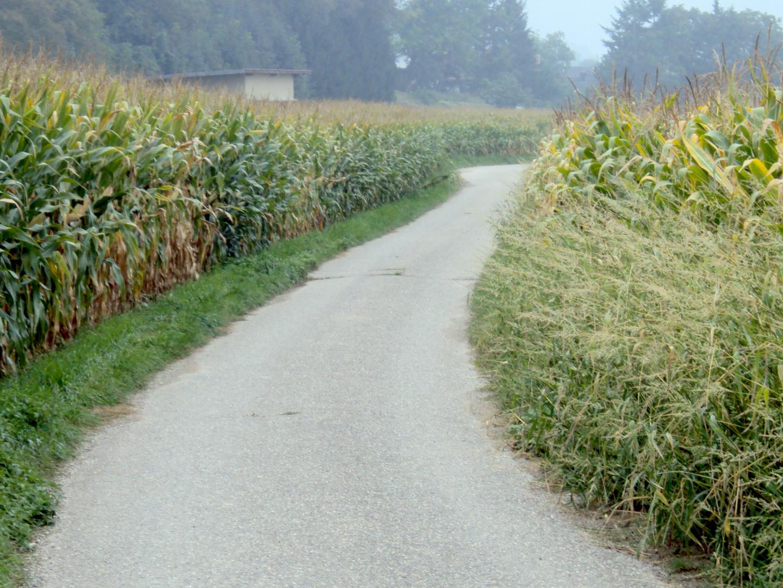 Der Mais steht gut 2013