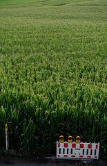 Der Mais und der Versuch der Zähmung