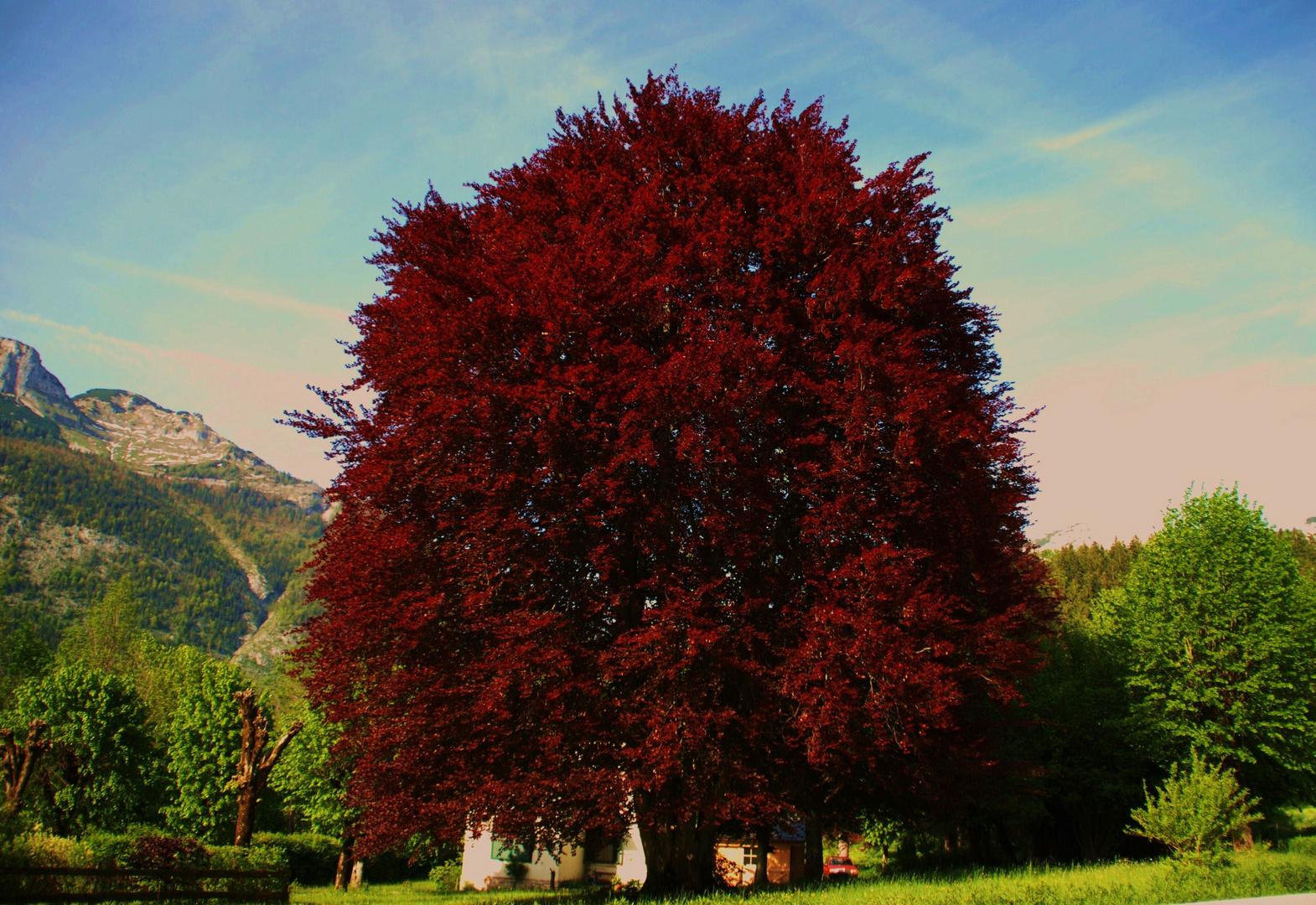 Der Mercedes unter den Bäumen     ( Fagus sylvatica purpurea )