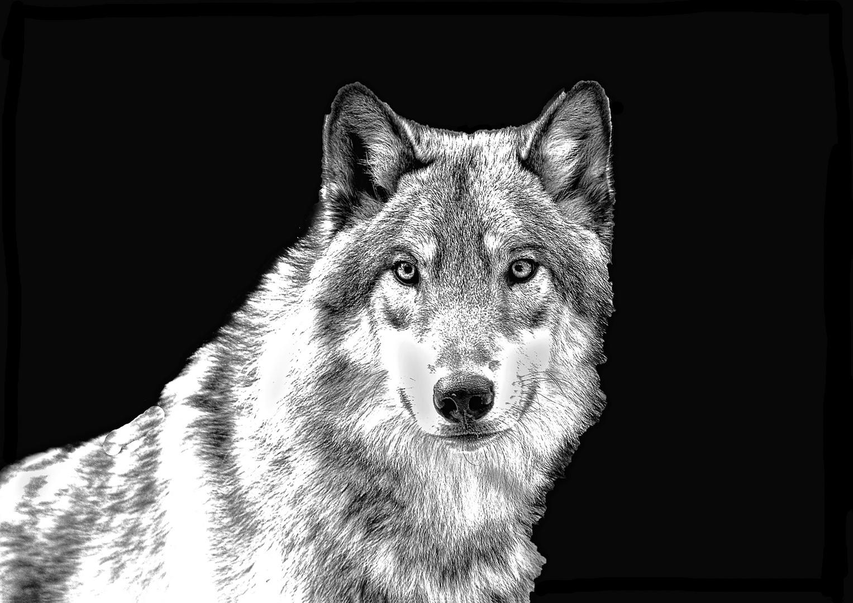 der mit dem wolf tanzt foto bild schwarz wei wolf tierpark bilder auf fotocommunity. Black Bedroom Furniture Sets. Home Design Ideas